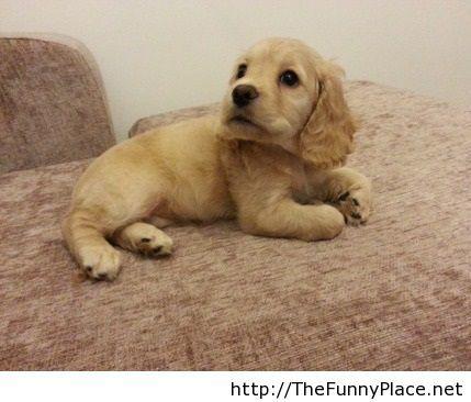 Cocker spaniel cute dog