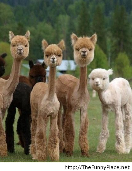 Funny Shaved Alpacas