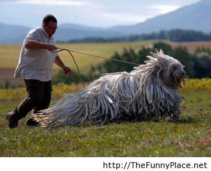 Funny hungarian guard dog image