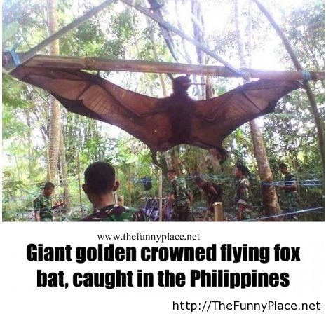 Giant golden crowned flying fox bat