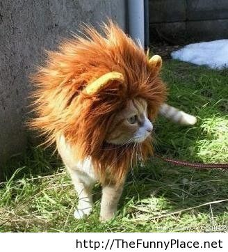 Lion kitty hair