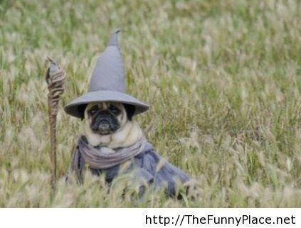 Pug funny image, Gandalf dog