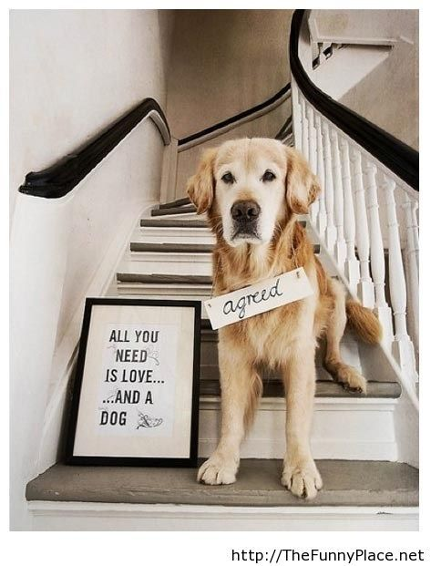 funny-animals-with-sayings-all-you-need-is-love-and-a-dog-agreed-funny-quote-with-labrador