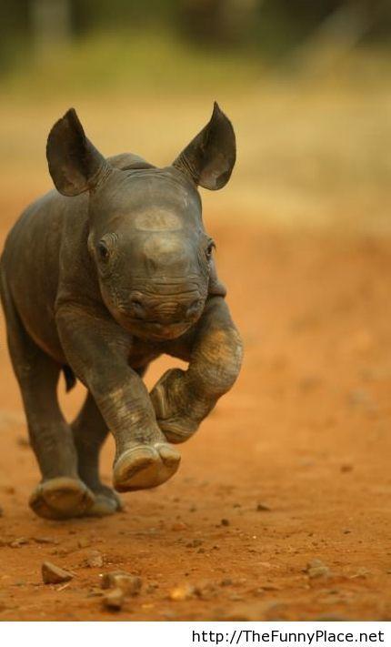 Baby rhino is funny