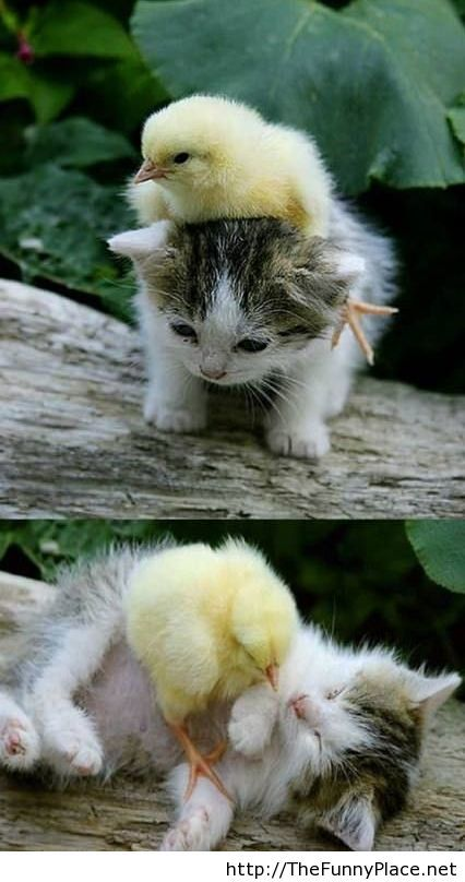 Chick-and-kitten-a-funny-friendship
