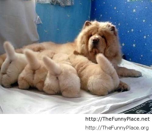 Chow Chow and his babys