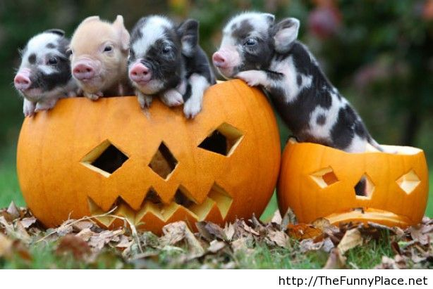 Cute funny Halloween pigs picture