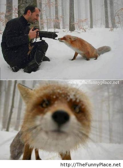 Funny fox is so curious