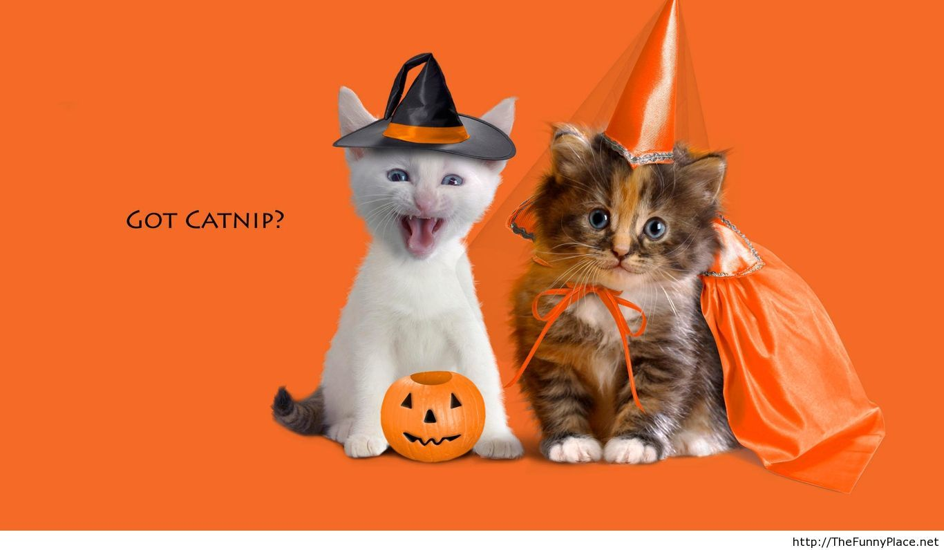 Funny halloween cat picture