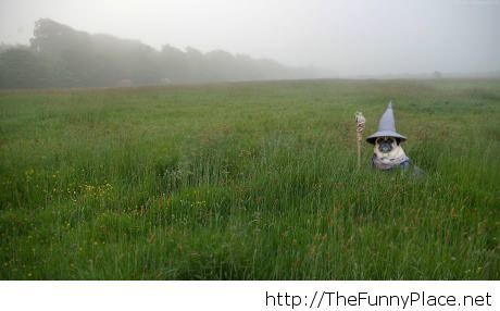 Gandalf pug funny november picture