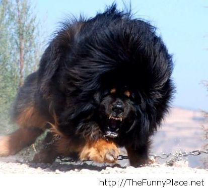 Tibetan mastiff, amazing dog!