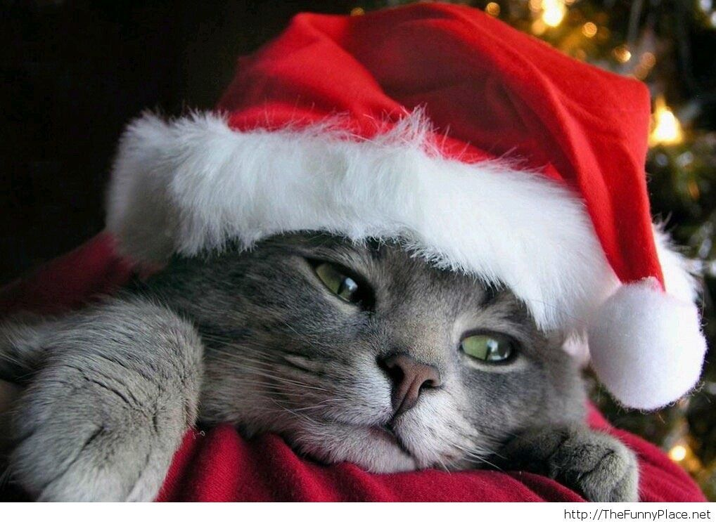 christmas-funny-cat-wallpaper