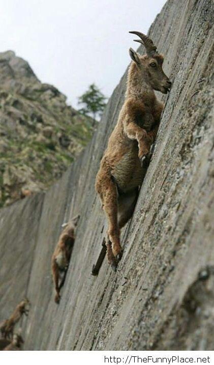 Amazing mountain goats