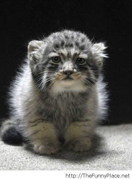 Beautiful Manul Cat