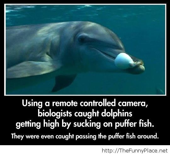 Dolphins get high too
