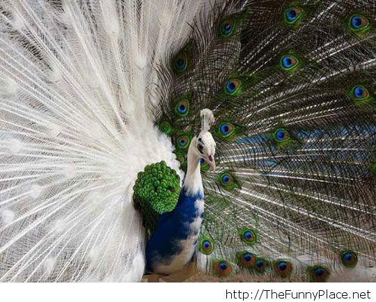 Majestic half-albino peacock