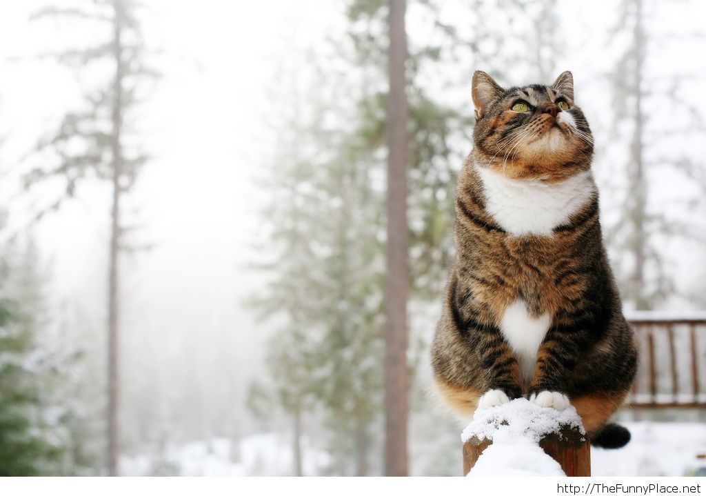 winter cat hd wallpaper funny thefunnyplace