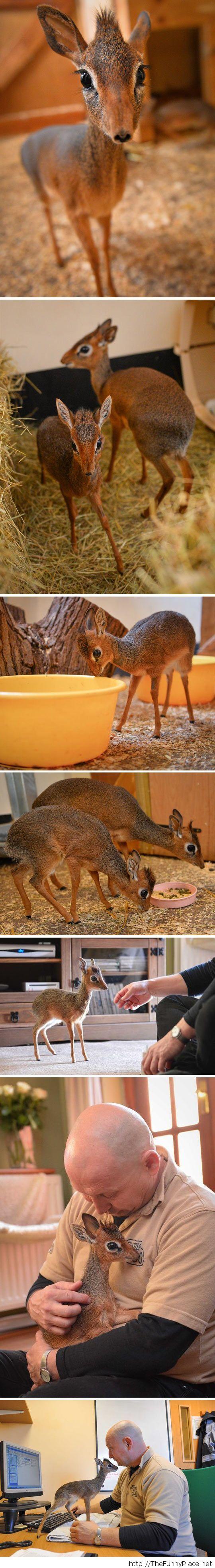 Dik-Dik, the smallest antelope…