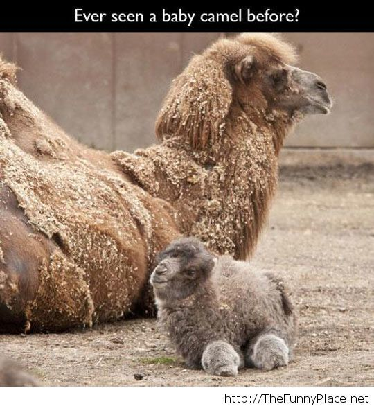 Cute baby camel