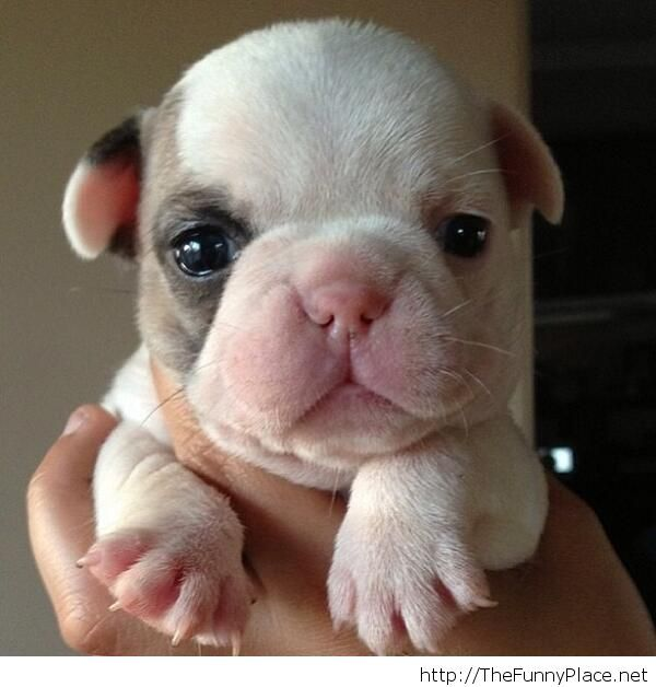 Frenchie Pup - Cute
