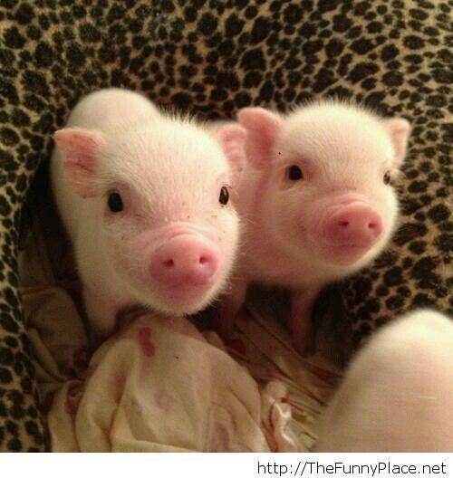 Smiling Piglets