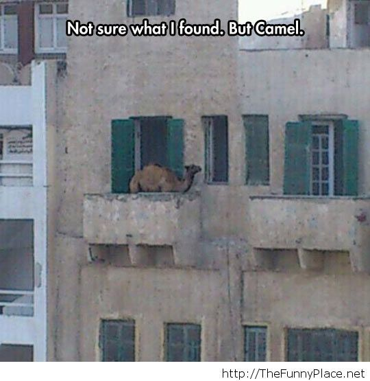 That's a strange place for a camel