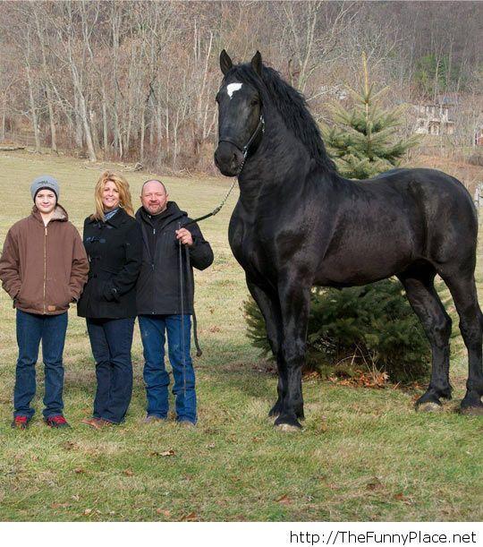 Beautiful Percheron Horse