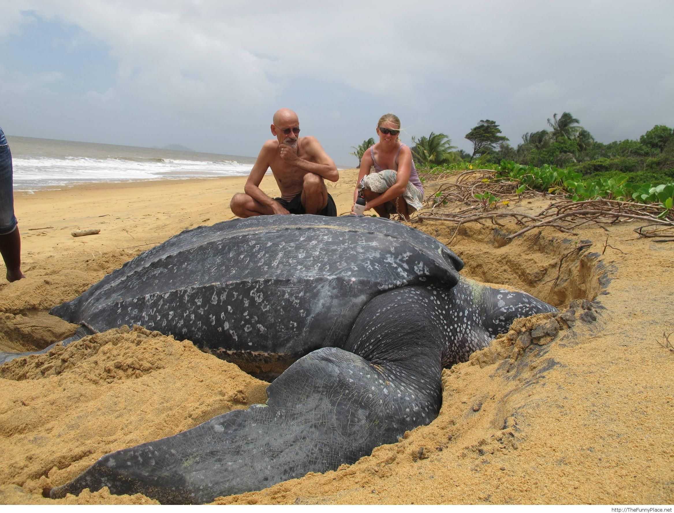 Just a big leatherback sea turtle...and Master Roshi