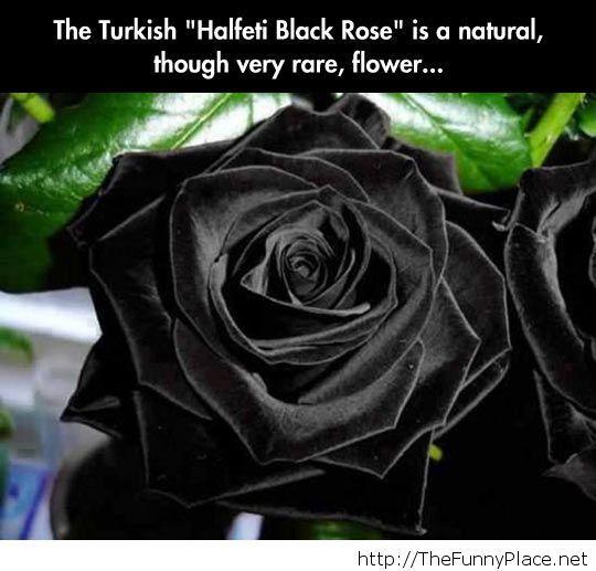 Very rare black rose