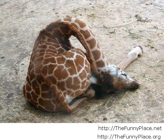 How little giraffes sleep