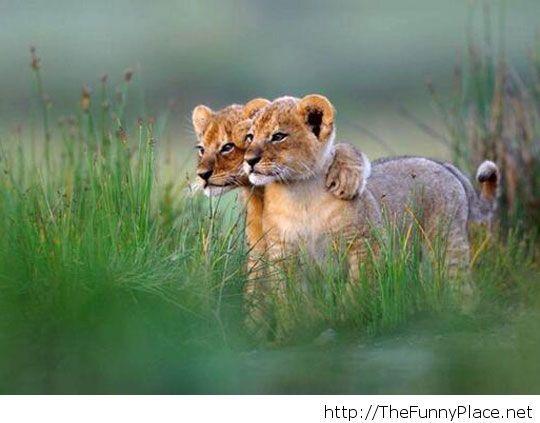 Lion cubs just chillin'