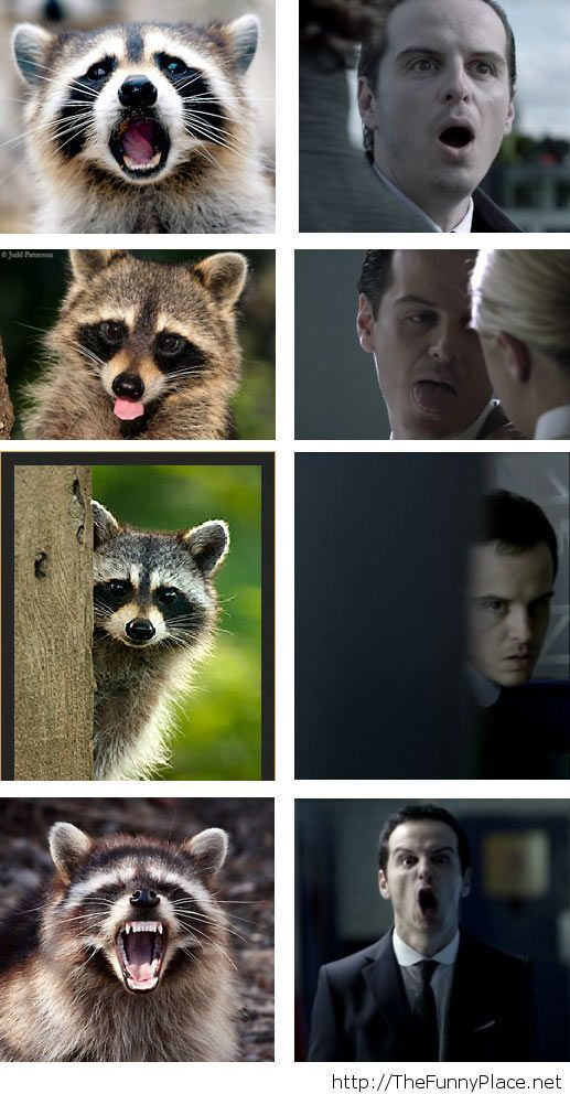 Funny racoon faces