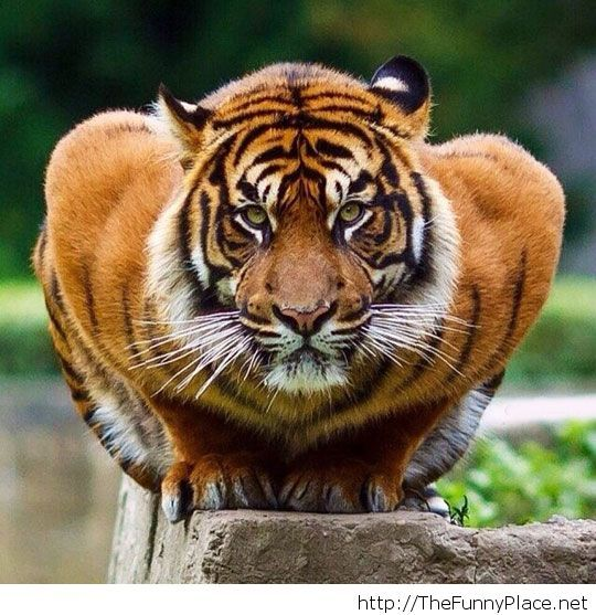 Tiger ready to attack