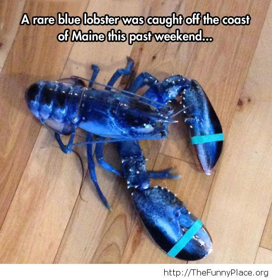 The Rare Blue Lobster is cool