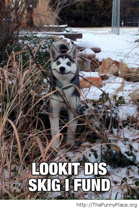 Just a happy husky
