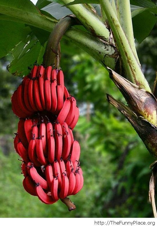 Those bananas turned red