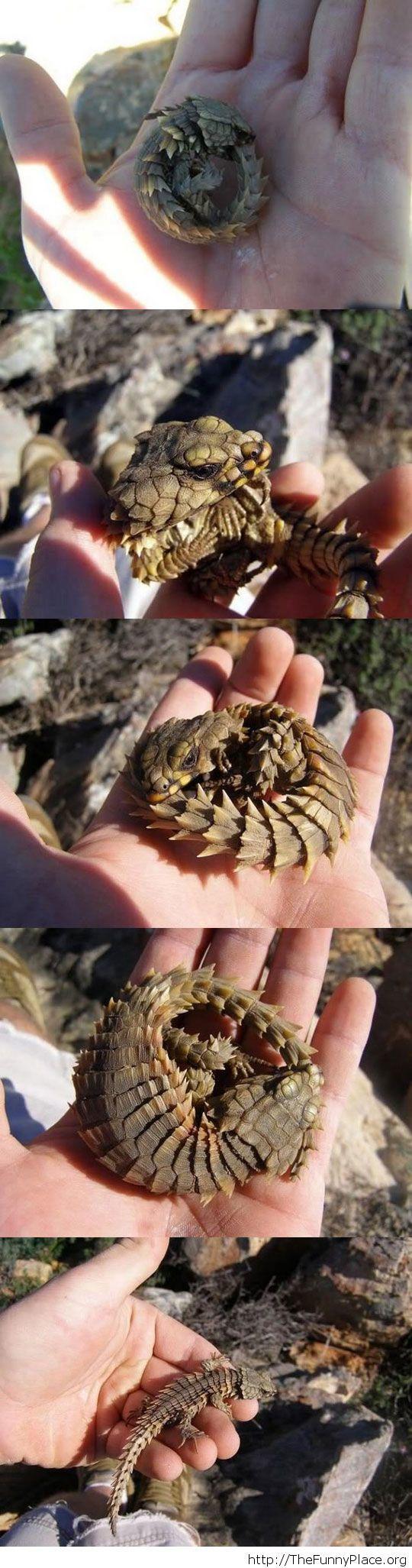 An awesome little lizard