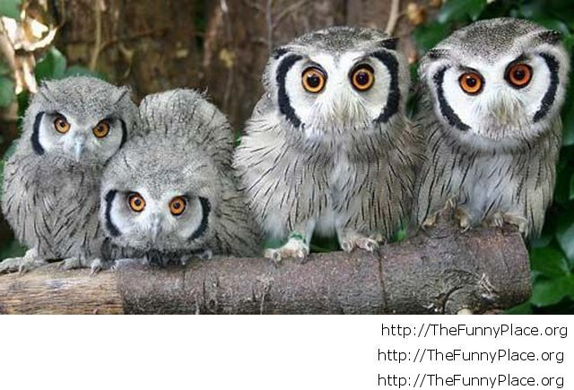 Funny baby owls image