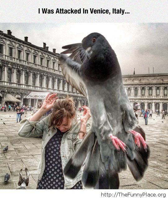 Pigeons attack picture