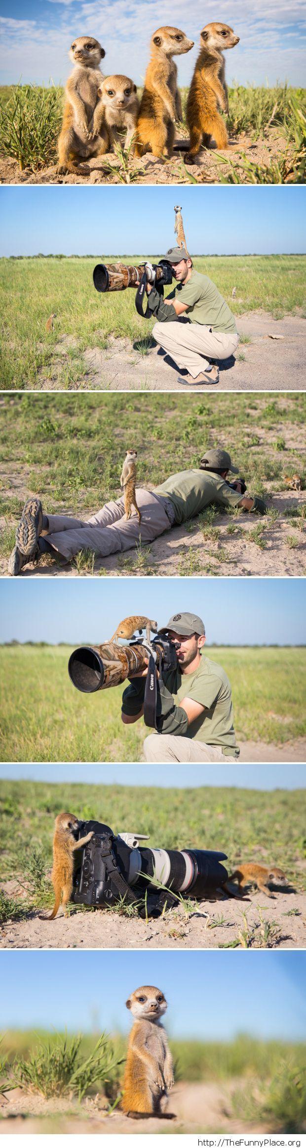 Baby meerkats playing with photographer in Botswana