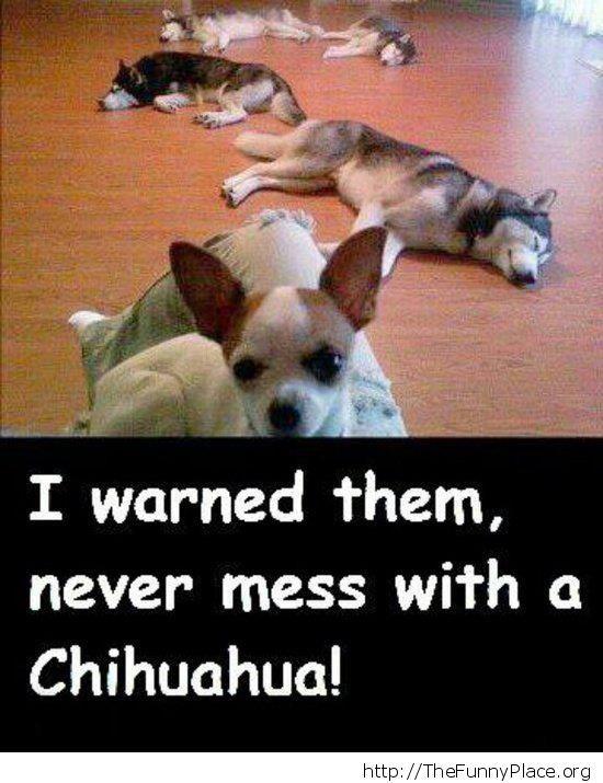 Badass Chihuahua
