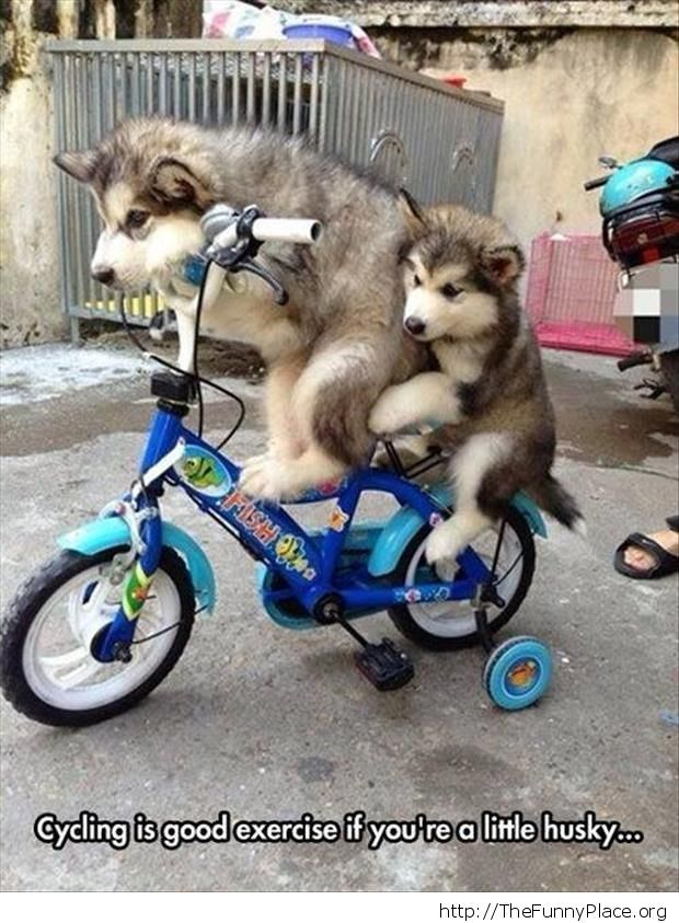 Husky cycling
