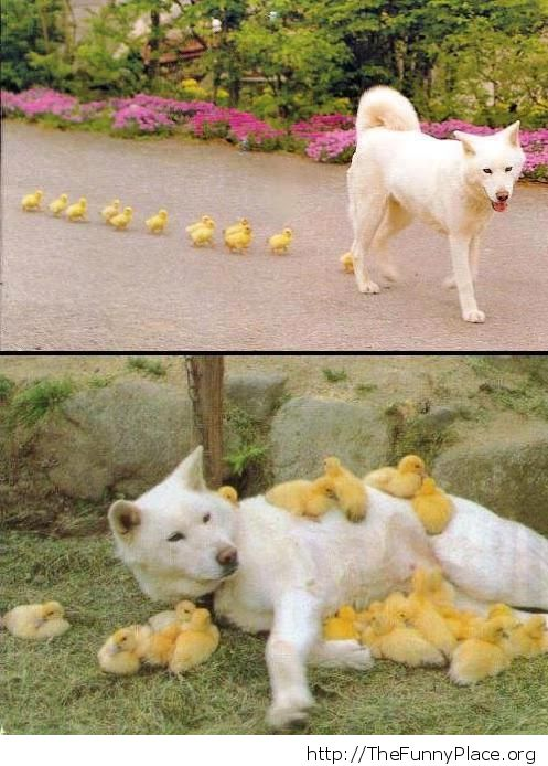 Little ducks and mama dog