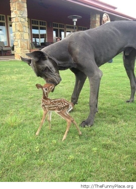 A Great Dane with a fawn