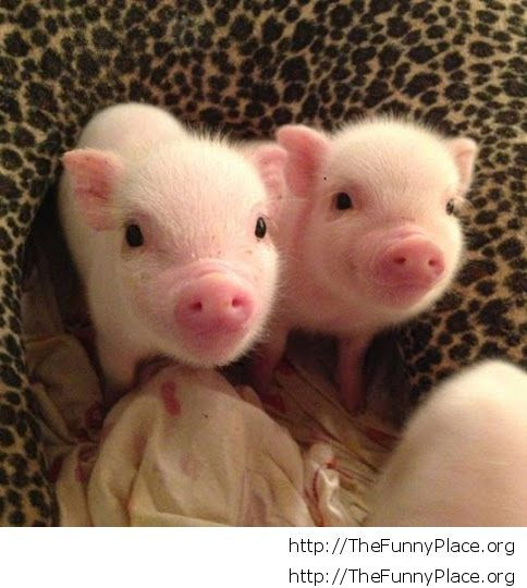 Adorable baby pigs