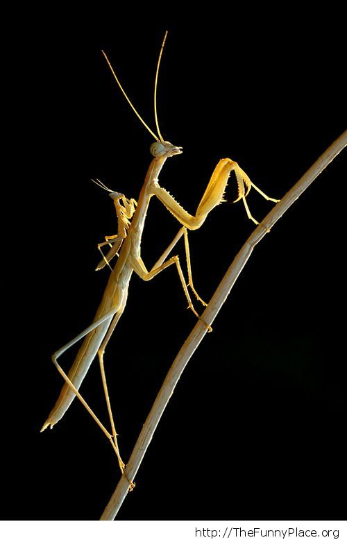 Awesome picture -Mantis with baby