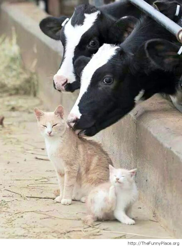 Cats and cows