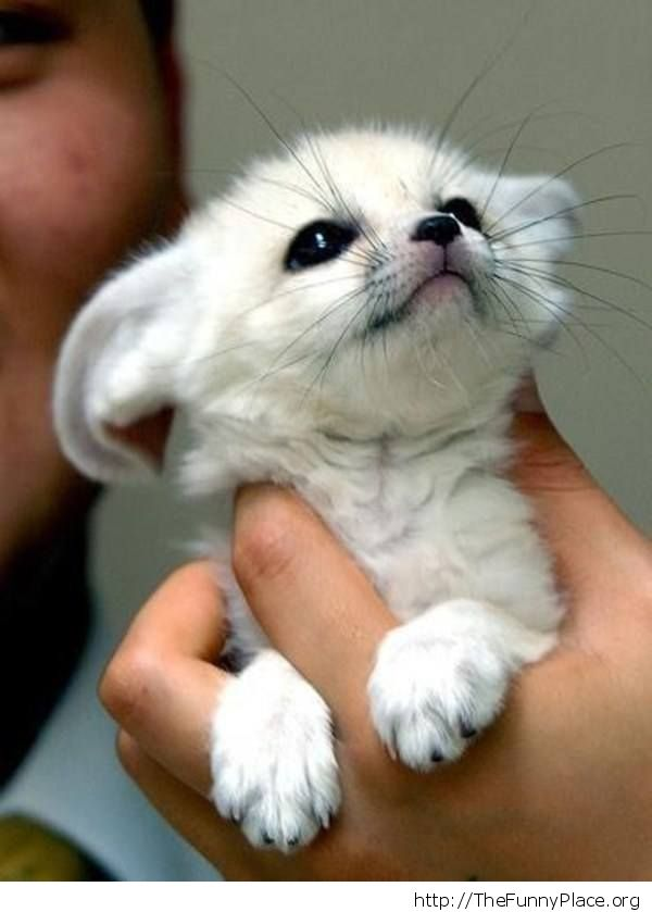 Cute Baby Fennec Fox