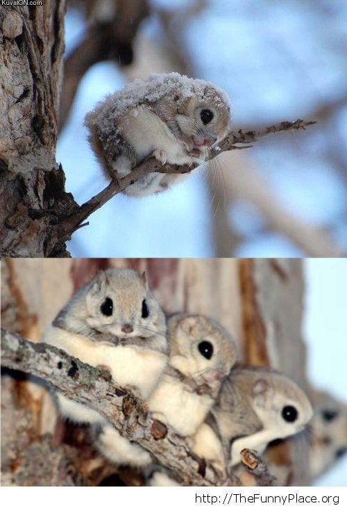 Cute japanese dwarf flying squirrels