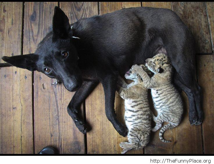 Female dog feeding baby tigers